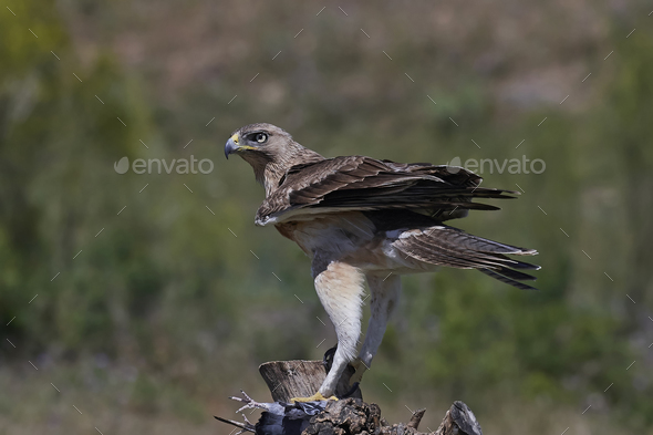 Bonellis eagle (Aquila fasciata) - Stock Photo - Images