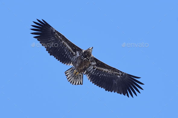 White-tailed eagle (Haliaeetus albicilla) - Stock Photo - Images