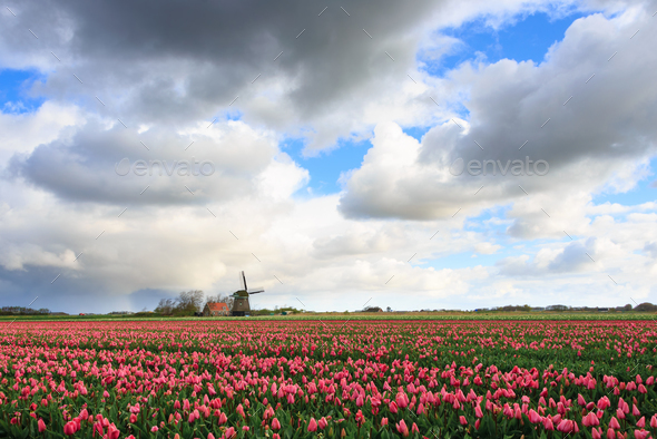 Clouds over a field with tulips and a windmill - Stock Photo - Images