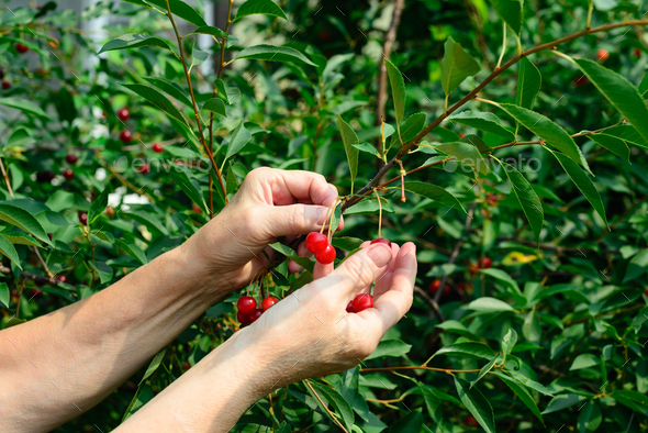 cherry harvesting by a woman - Stock Photo - Images