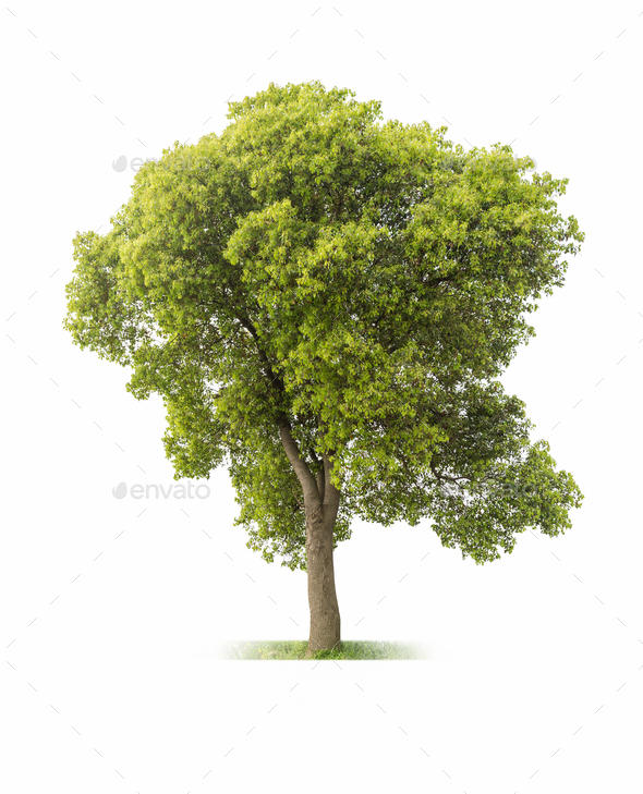 big tree on white - Stock Photo - Images