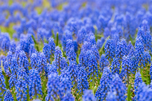grape hyacinth closeup in beautiful spring - Stock Photo - Images