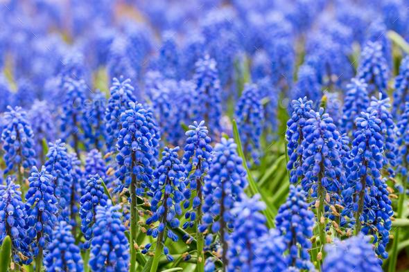 grape hyacinth closeup - Stock Photo - Images