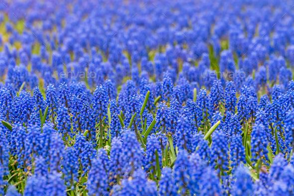 blue grape hyacinth closeup in beautiful spring - Stock Photo - Images