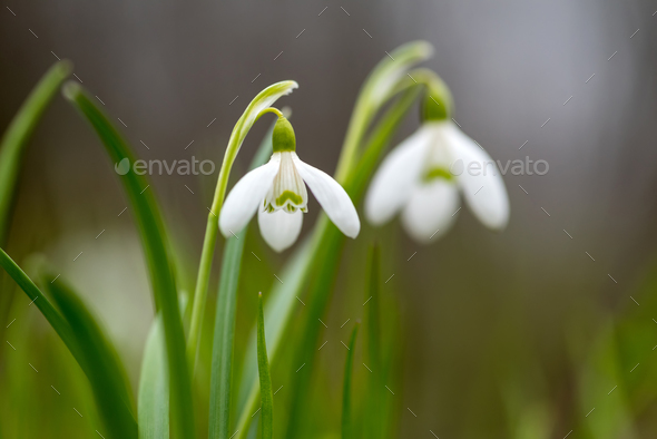 Snowdrop spring flowers - Stock Photo - Images