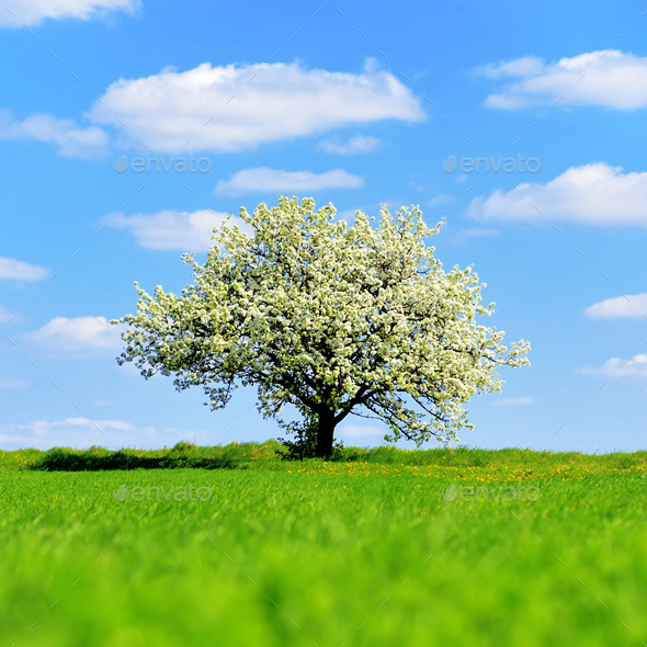 Single blossoming tree in spring - Stock Photo - Images