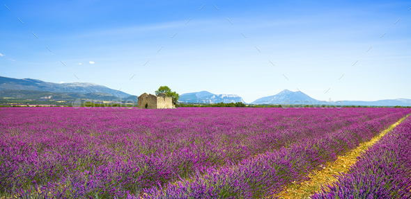 Lavender flowers blooming field, old house and tree. Provence, F - Stock Photo - Images