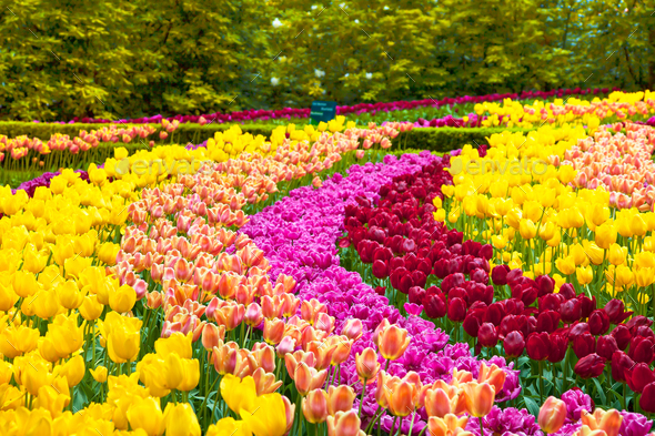 Tulip Flowers Garden In Spring Background Or Pattern Stock