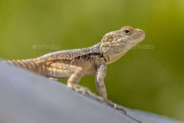 Sling-tailed Agama climbing looking up - Stock Photo - Images