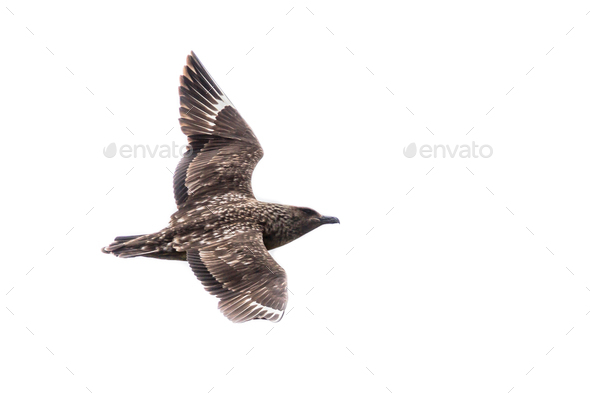 Great Skua on white background - Stock Photo - Images