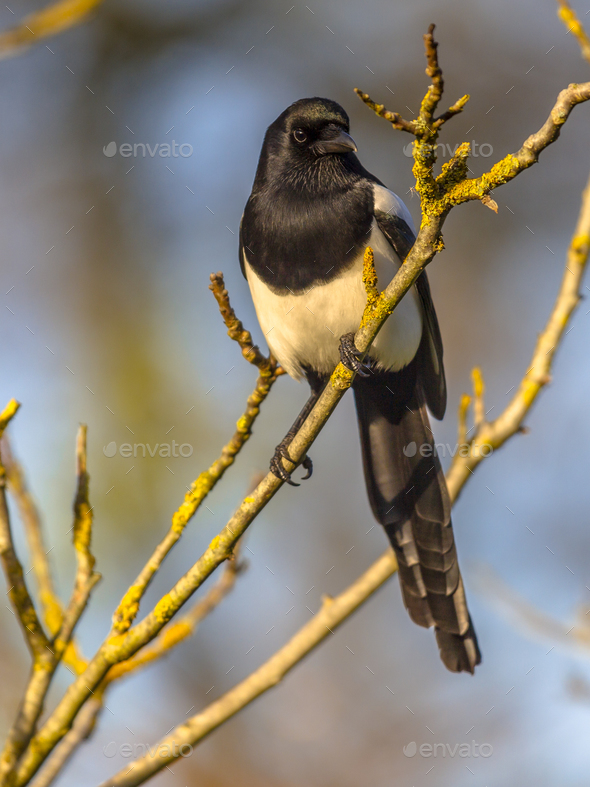 Eurasian magpie on branch - Stock Photo - Images