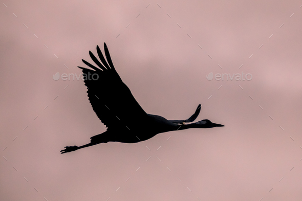 One Migrating Eurasian Crane against pink sky - Stock Photo - Images