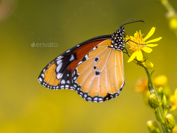 Plain tiger butterfly drinking nectar - Stock Photo - Images