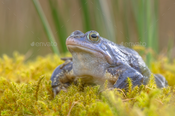Blue Moor frog - Stock Photo - Images