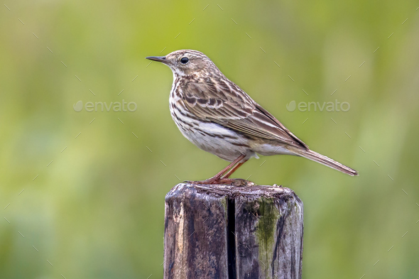 Meadow pipit perched on pole - Stock Photo - Images