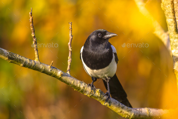Eurasian magpie with autumn background - Stock Photo - Images