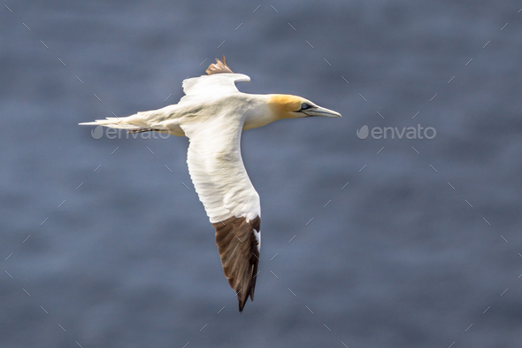 Northern gannet in flight against ocean background - Stock Photo - Images