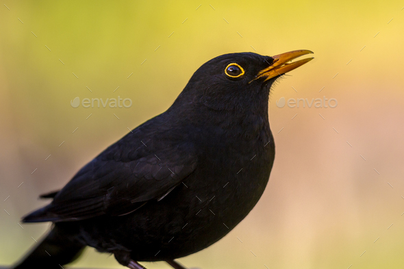 Portrait of male Blackbird vivid background - Stock Photo - Images
