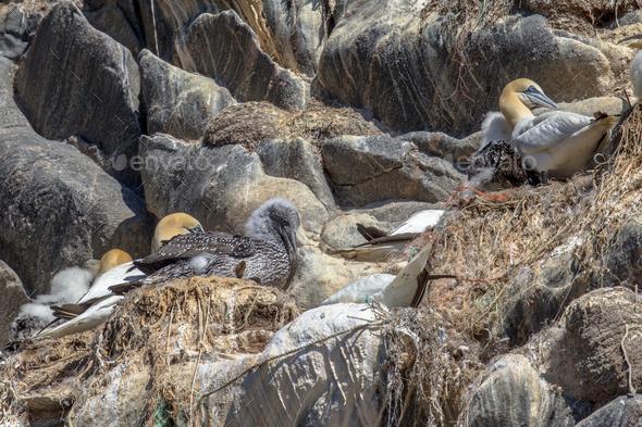 Gannet breeding bird colony - Stock Photo - Images