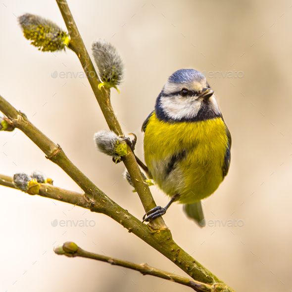 Blue tit willow twig insta - Stock Photo - Images