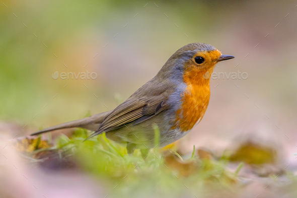European Robin in autumnal garden lawn - Stock Photo - Images