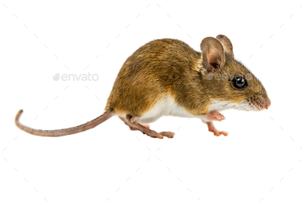 Curious Walking Field Mouse on white background - Stock Photo - Images