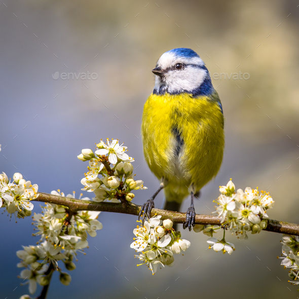 Blue tit portrait in blossom square - Stock Photo - Images