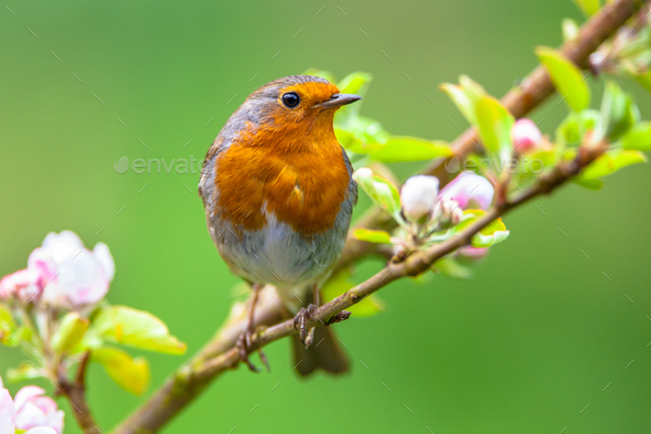 Robin on a branch with white flower buds - Stock Photo - Images