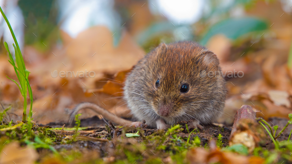 Bank Vole hiding between autumn leaves - Stock Photo - Images
