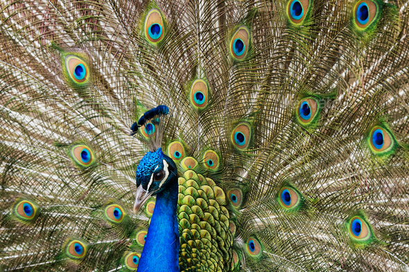 Close up of a male peacock displaying its tail feathers - Stock Photo - Images