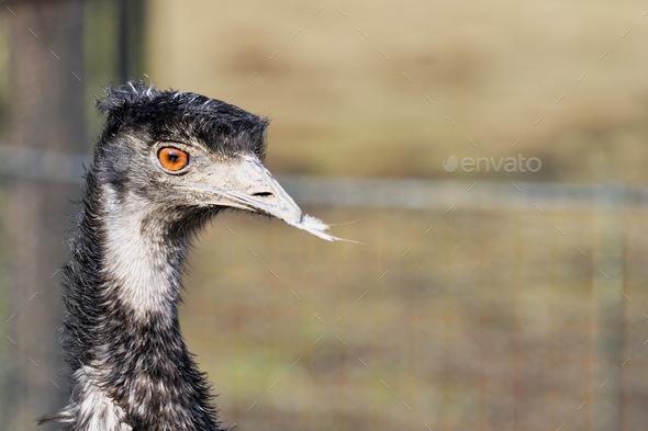 Portrait of emu (Dromaius novaehollandiae) - Stock Photo - Images