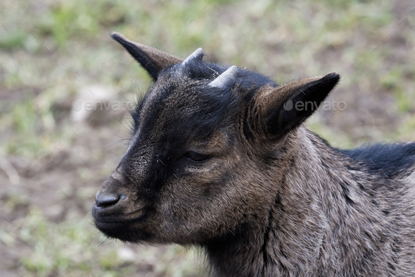 Portrait of dark brown goat with blurred background - Stock Photo - Images