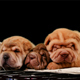 Four Newborn Shar Pei Dog Pups in a Basket - VideoHive Item for Sale