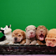 Four Newborn Shar Pei Dog Pups in a Basket Green Screen - VideoHive Item for Sale