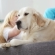 Care for Pets. A Blonde Girl Strokes Her Dog with Love in the Living Room. Happy Golden Retriever in - VideoHive Item for Sale