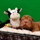 Newborn Shar Pei Dog Pup in a Basket Green Screen - VideoHive Item for Sale