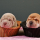 Two Newborn Shar Pei Dog Pups in a Basket - VideoHive Item for Sale