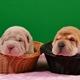 Two Newborn Shar Pei Dog Pups in a Basket Green Screen - VideoHive Item for Sale