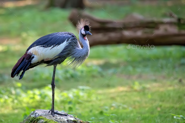 Grey Crowned Crane - Balearica regulorum in the wild  - Stock Photo - Images