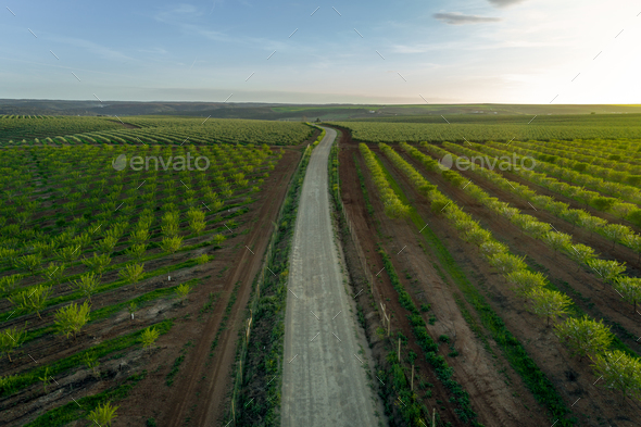 Aereal views of almond tree plantation in Alentejo, Portugal - Stock Photo - Images