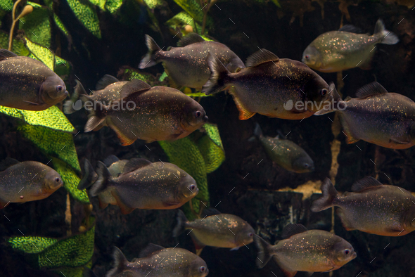 Group of piranhas floating in an aquarium - Stock Photo - Images