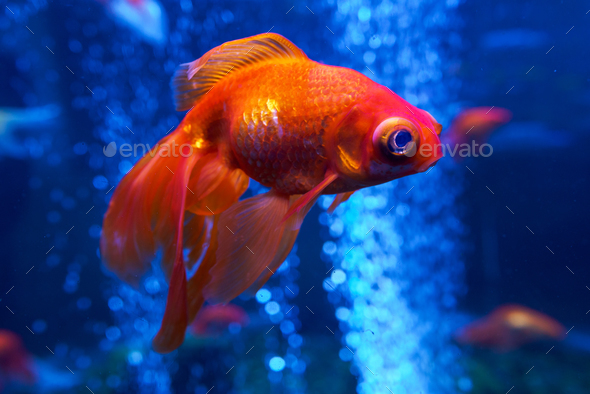 Goldfish in the aquarium - Stock Photo - Images