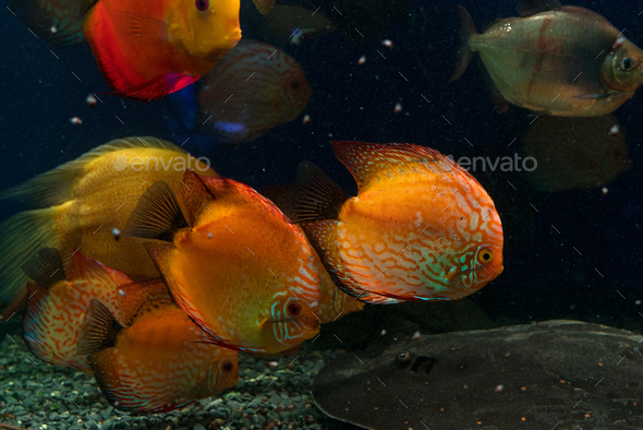 Bright fish swim in the aquarium - Stock Photo - Images