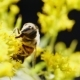Pollinating Bee - VideoHive Item for Sale