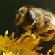 Bee on Yellow Flower - VideoHive Item for Sale