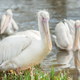 pelicans on water - PhotoDune Item for Sale