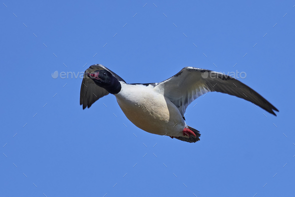 Common goosander (Mergus merganser) - Stock Photo - Images