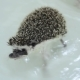 Sweet Pet Domesticated Hedgehogs Crawling in Water in White Bathtub - VideoHive Item for Sale