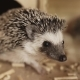 Cute Pet Domesticated Hedgehog Sitting Near Small House in Cage - VideoHive Item for Sale