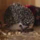 Spiked Pet Hedgehog Eating Cockroach Sitting in Wooden Cage - VideoHive Item for Sale